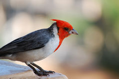 Red Crested Cardinal with a sharp Beak Stock Image
