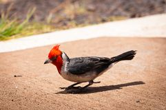 Red-crested cardinal on a sidewalk Royalty Free Stock Image
