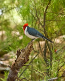 Red-Crested Cardinal Stock Photography