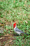 Red-crested cardinal songbird in Hawaii - vertical shot Royalty Free Stock Photo