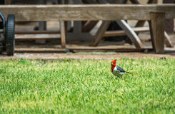 Red-crested cardinal. A red-crested cardinal standing in the short grass of a residential yard Stock Images