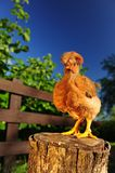 Red Crested Chicken on Tree Stump Royalty Free Stock Images