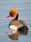 Red crested diving duck (Netta Rufina) on water Royalty Free Stock Photography