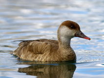 Red-crested female pochard duck, netta rufina Stock Photos