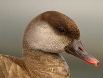 Red-crested female pochard duck, netta rufina Royalty Free Stock Photography