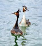 Red crested grebe duck parade Stock Image
