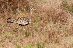 Red crested korhaan Royalty Free Stock Photo
