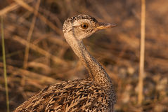 Red-crested korhaan Royalty Free Stock Image