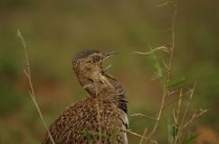 Red-crested korhaan. Calling the female Stock Photography