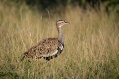 Red Crested Korhaan. A Red Crested Korhaan in the grass Royalty Free Stock Images