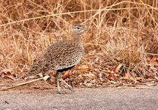 Red-crested korhaan walking in the bush Royalty Free Stock Photos