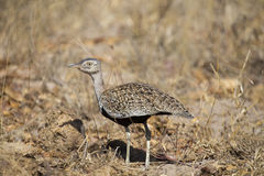 A red crested korhaan walking camouflaged among dry grasses Royalty Free Stock Images