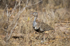A red crested korhaan walking camouflaged among dry grasses Royalty Free Stock Photography