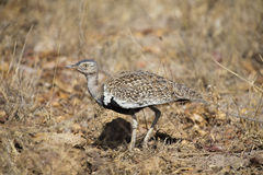 A red crested korhaan walking camouflaged among dry grasses Royalty Free Stock Photos