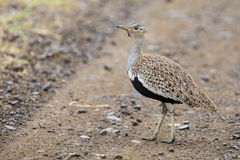 A red crested korhaan walking camouflaged among dry grasses Stock Image