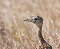 Red crested korhaan walking in dry grass Stock Photo