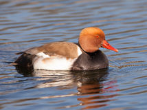 The Red-crested Pochard royalty free stock photos