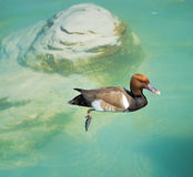 Red Crested Pochard Stock Photography