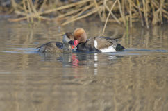 Red Crested Pochard. Couple  Red Crested Pochard (netta rufina Royalty Free Stock Image