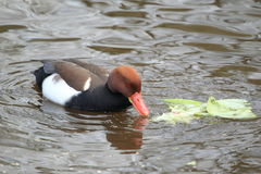 Red-crested pochard Stock Photography
