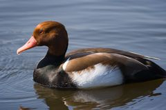 Red-crested Pochard. Live in lowland marshes and lakes in southern Europe and southern and central Asia Stock Photos