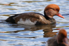 Red Crested Pochard Royalty Free Stock Photo