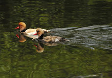 Red-crested pochard. Adult and adolescent male red-crested pochards on lake Royalty Free Stock Photo