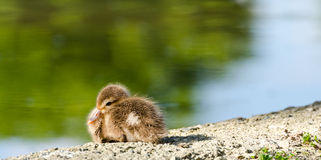 Red-crested pochard chick Stock Image