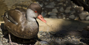 Red Crested Pochard Duck Stock Photos