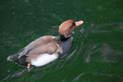 Red-crested Pochard Duck Royalty Free Stock Photography