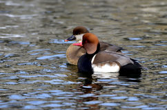 Red-crested Pochard Stock Photo