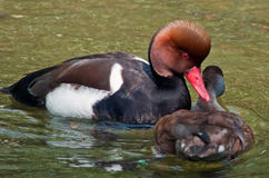 Red-crested Pochard stock photos