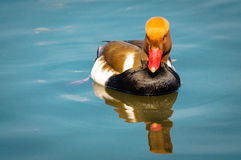 Red crested pochard Royalty Free Stock Photography