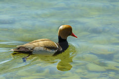 Red Crested Pochard stock photo