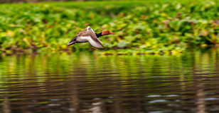 Red-crested Pochard,migratory, bird, Diving duck, Stock Images