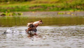 Red-crested Pochard,migratory, bird, Diving duck, Royalty Free Stock Photo