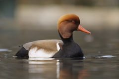 Red-crested Pochard - Netta rufina Stock Photo