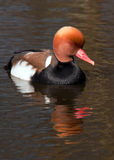 Red-crested Pochard (Netta rufina) Royalty Free Stock Photos