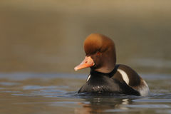 Red-crested Pochard - Netta rufina Royalty Free Stock Photo