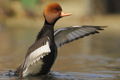 Red-crested Pochard - Netta rufina Stock Image