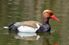 Red crested pochard (Netta Rufina) Stock Images