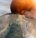 Red crested pochard (Netta Rufina) Royalty Free Stock Image