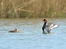 Red Crested pochard - Netta Rufina Stock Images