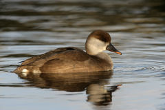 Red-crested Pochard, Netta Rufina Stock Image