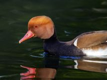 Red-crested pochard, netta rufina, duck Stock Photos