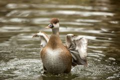 The red-crested pochard Netta rufina female duck swimming on the lake and streatching wings, outstretched wings, clear. Background, scene from wildlife stock photos