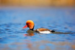 Red-crested Pochard, Netta rufina, floating on dark water surface. Nice duck with rusty head in blue water. Evening sun in the lak Royalty Free Stock Images