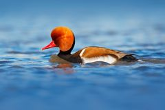 Red-crested Pochard, Netta rufina, floating on dark water surface. Nice duck with rusty head in blue water. Evening sun in the lak Royalty Free Stock Photos