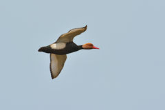 Red Crested pochard Royalty Free Stock Photos