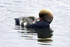 Red-crested pochard / Netta rufina - large diving duck royalty free stock photos
